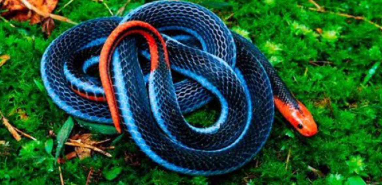 Veneno de uma das cobras mais mortais do mundo pode servir de analgésico, diz pesquisa